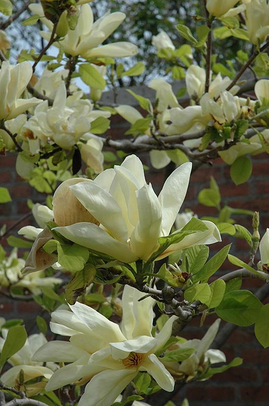 Elizabeth Magnolia Magnolia Elizabeth In Boston Hopkinton