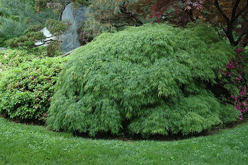 Cutleaf Japanese Maple Acer Palmatum Dissectum Viridis In Boston