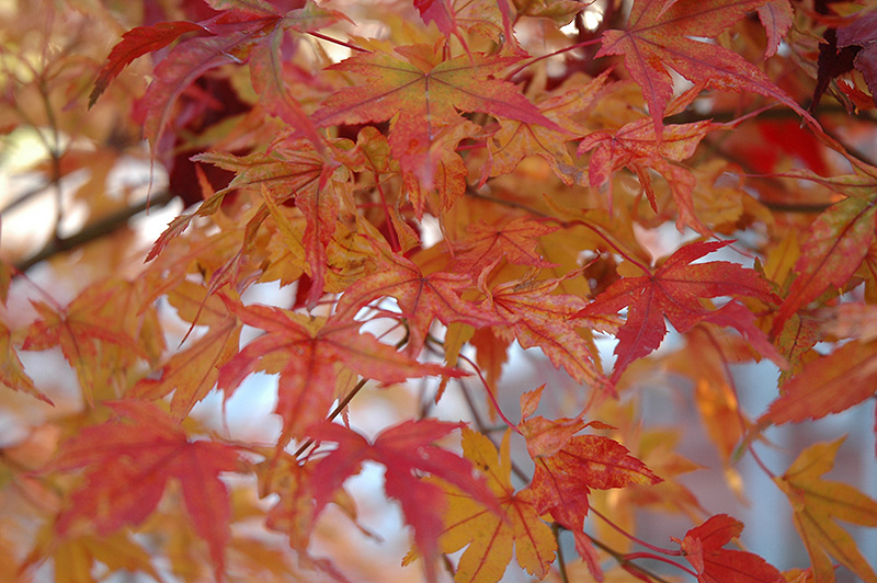 Butterfly Variegated Japanese Maple Acer Palmatum Butterfly In