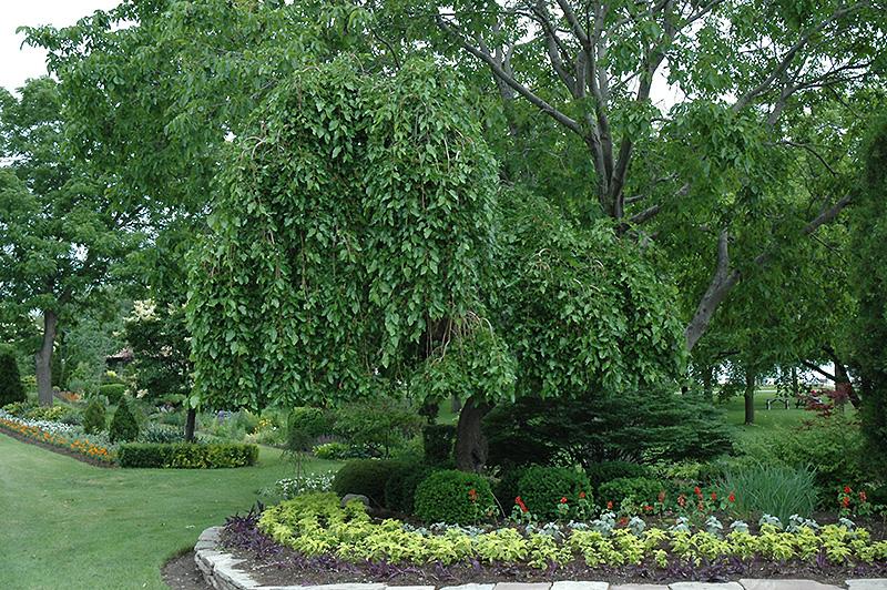 weeping mulberry morus alba 39 pendula 39 in boston. Black Bedroom Furniture Sets. Home Design Ideas