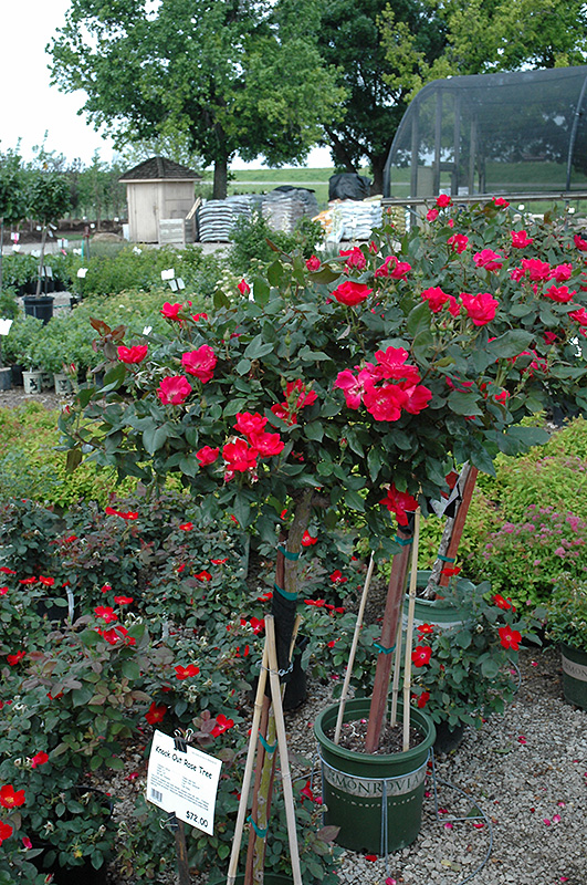 Knock Out Rose Tree Rosa Radrazz At Weston Nurseries