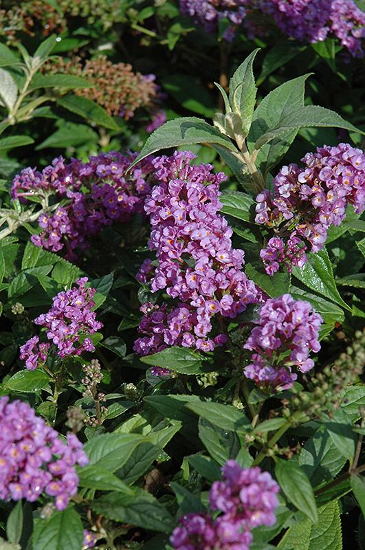 Lo And Behold Purple Haze Dwarf Butterfly Bush (Buddleia U0027Lo And Behold  Purple Hazeu0027) In Boston Hopkinton Chelmsford Massachusetts MA At Weston  Nurseries