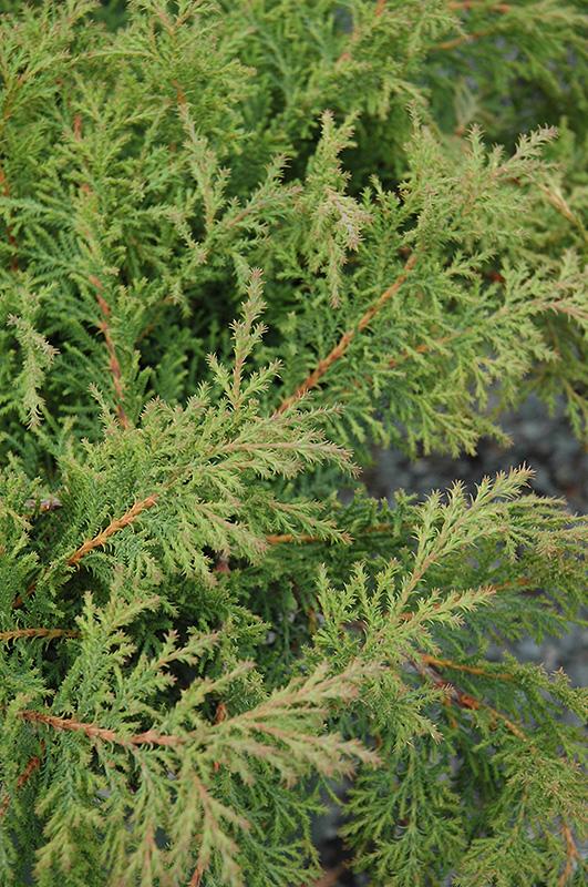 Fuzzball Siberian Carpet Cypress Microbiota Decussata