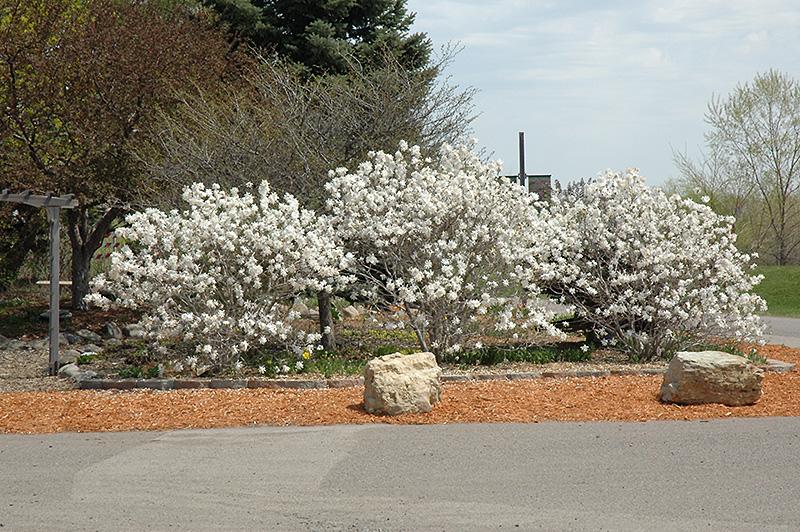 Royal Star Magnolia Magnolia Stellata Royal Star In Boston
