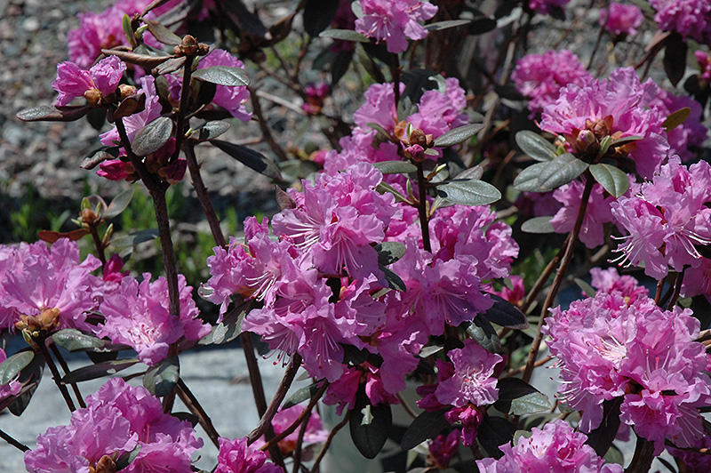 P J M Elite Rhododendron At Weston Nurseries