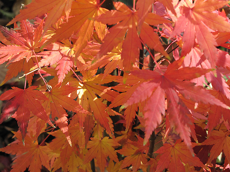 Orange Dream Japanese Maple Acer Palmatum Orange Dream In Boston