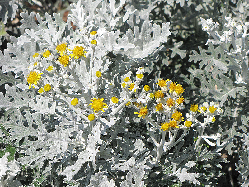 Silver Dust Dusty Miller Senecio Cineraria At Weston Nurseries