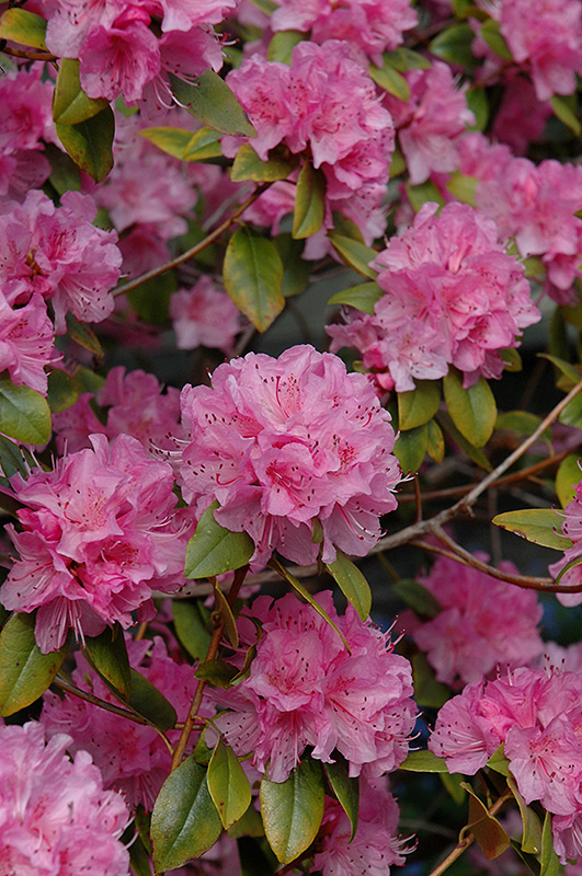 Olga Mezitt Rhododendron At Weston Nurseries