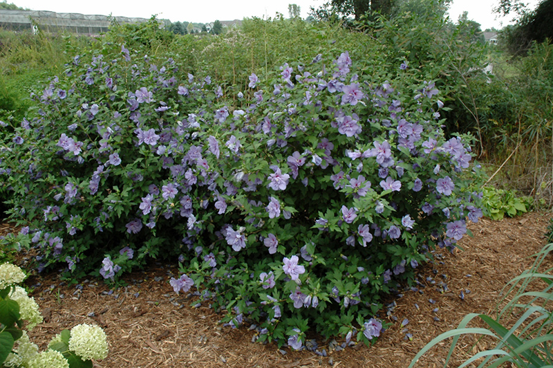Blue Chiffon® Rose of Sharon (Hibiscus syriacus \'Notwoodthree\') in ...