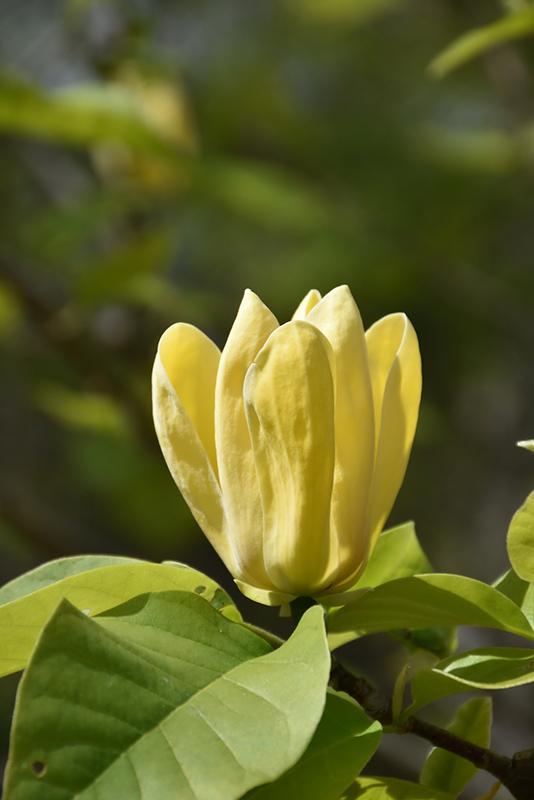 Yellow Bird Magnolia Magnolia Yellow Bird In Boston Hopkinton