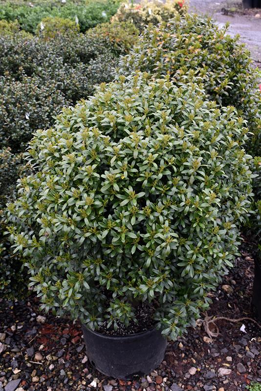 Shamrock Inkberry Holly