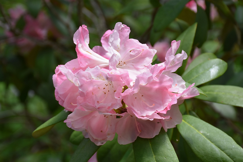 Yaku Princess Rhododendron Yakushimanum At Weston Nurseries