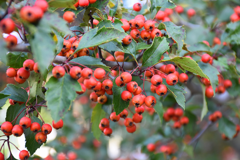 Winter King Hawthorn (Crataegus viridis 'Winter King') in ...