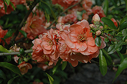 Cameo Flowering Quince (Chaenomeles speciosa 'Cameo') at Weston Nurseries