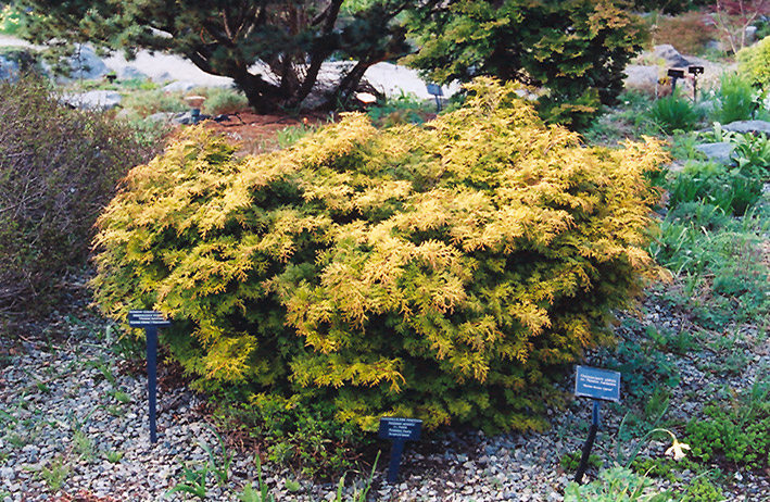 Golden Plume Falsecypress (Chamaecyparis pisifera 'Plumosa Aurea') at Weston Nurseries