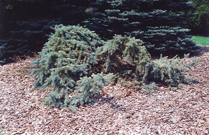 Creeping Blue Spruce (Picea pungens 'Glauca Prostrata') at Weston Nurseries