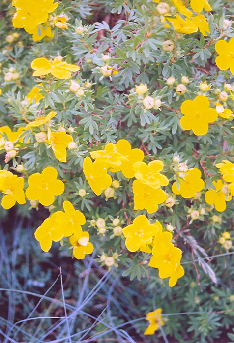 Goldfinger Potentilla (Potentilla fruticosa 'Goldfinger') at Weston Nurseries