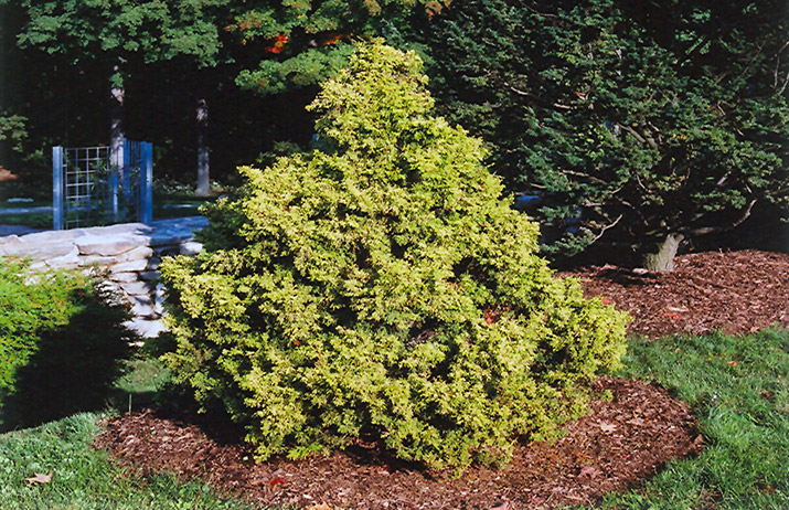 Golden Nymph Falsecypress (Chamaecyparis pisifera 'Golden Nymph') at Weston Nurseries