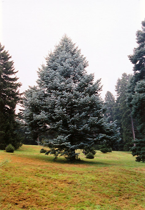 Candicans White Fir (Abies concolor 'Candicans') at Weston Nurseries