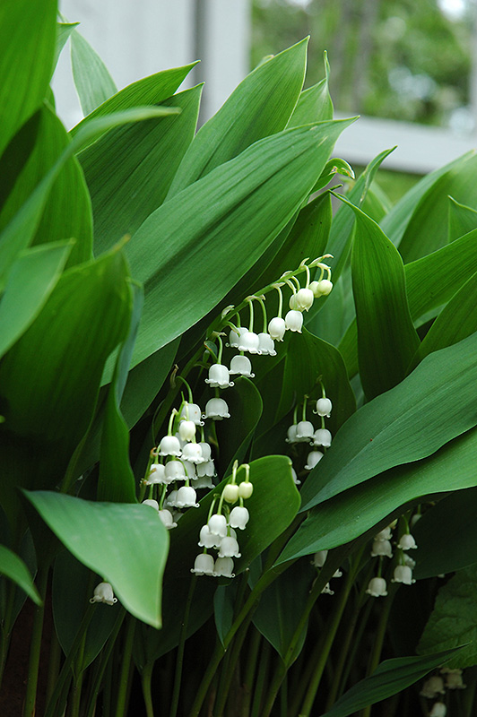 Lily-Of-The-Valley (Convallaria majalis) at Weston Nurseries