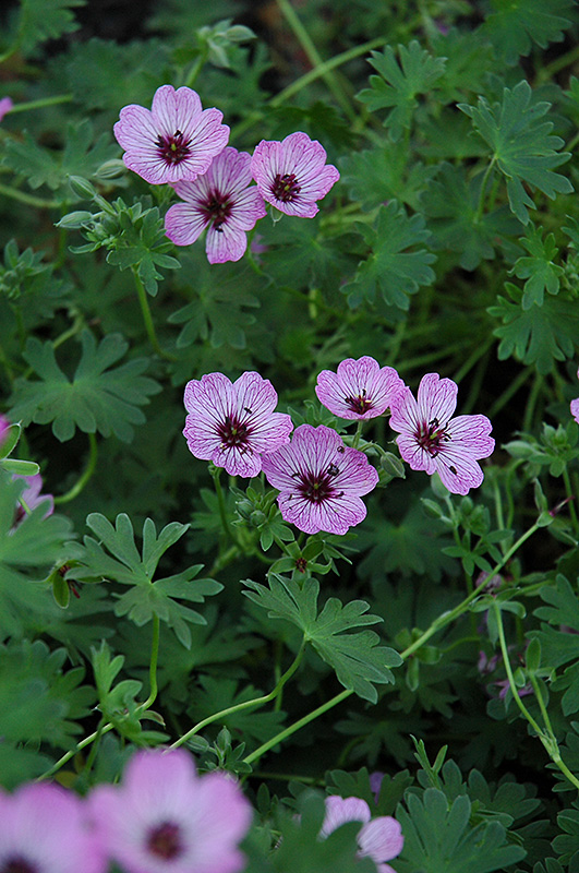 Ballerina Cranesbill (Geranium cinereum 'Ballerina') at Weston Nurseries