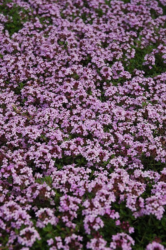 Red Creeping Thyme (Thymus praecox 'Coccineus') at Weston Nurseries