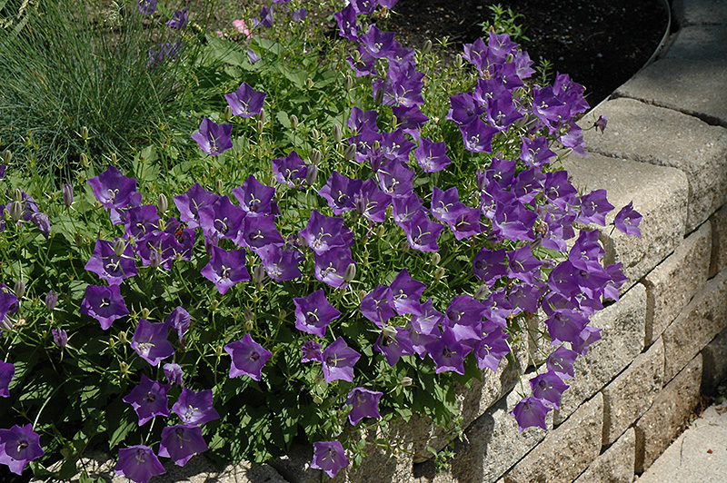 Blue Clips Bellflower (Campanula carpatica 'Blue Clips') at Weston Nurseries