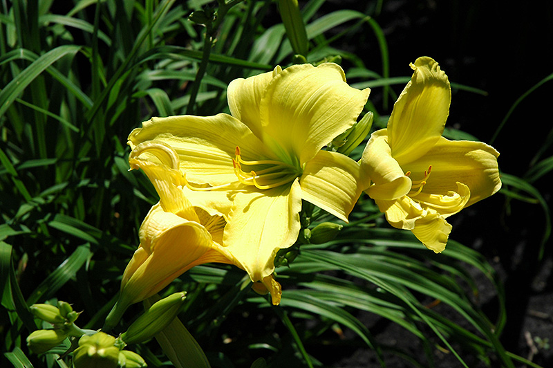 Java Sea Daylily (Hemerocallis 'Java Sea') at Weston Nurseries