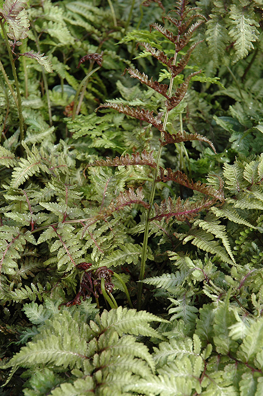Japanese Painted Fern (Athyrium nipponicum 'Metallicum') at Weston Nurseries