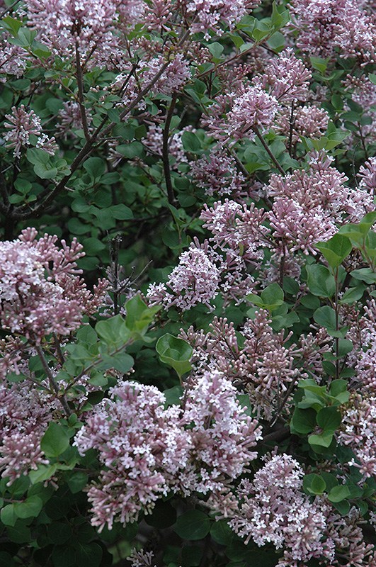 Dwarf Korean Lilac (Syringa meyeri 'Palibin') at Weston Nurseries