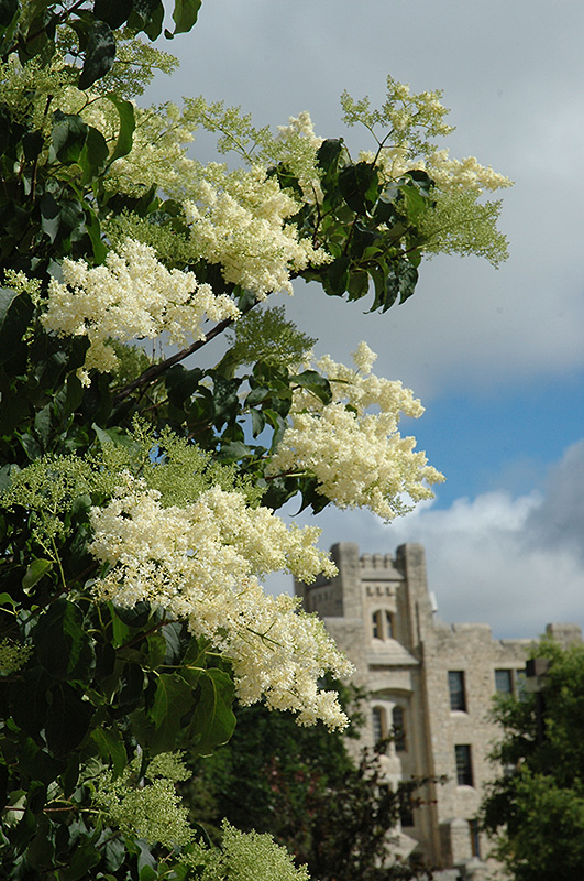 Ivory Silk Japanese Tree Lilac (Syringa reticulata 'Ivory Silk') at Weston Nurseries