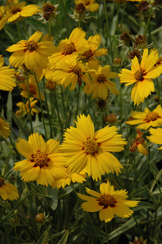 Tequila Sunrise Tickseed (Coreopsis 'Tequila Sunrise') at Weston Nurseries