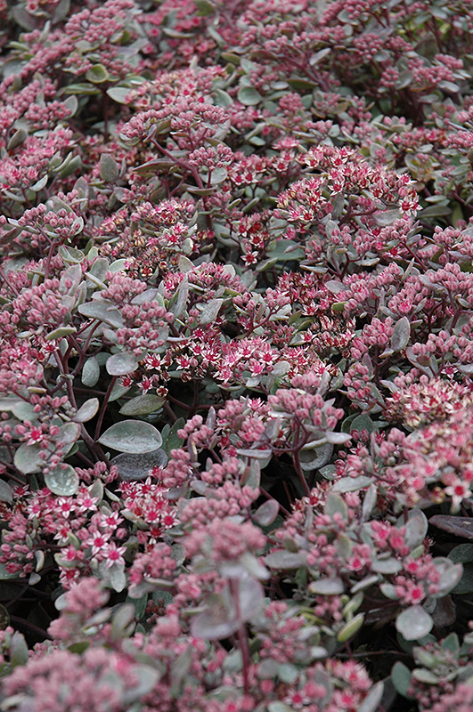 Vera Jameson Stonecrop (Sedum 'Vera Jameson') at Weston Nurseries