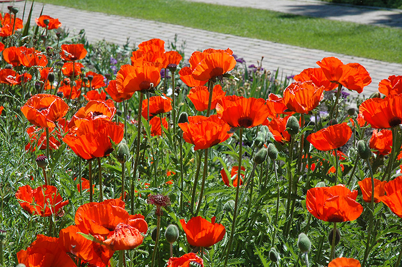 Brilliant Poppy (Papaver orientale 'Brilliant') at Weston Nurseries