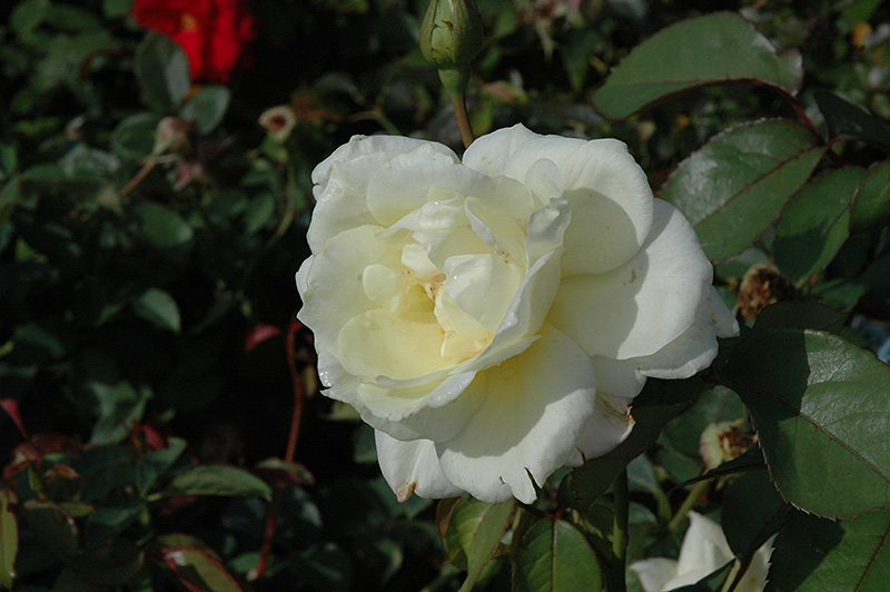 Macy's Pride Rose (Rosa 'BAIcream') at Weston Nurseries