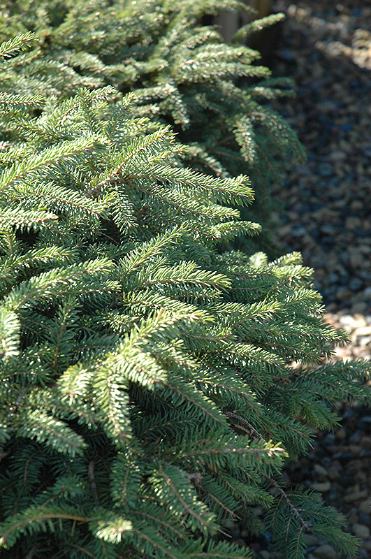 Elegans Spruce (Picea abies 'Elegans') at Weston Nurseries