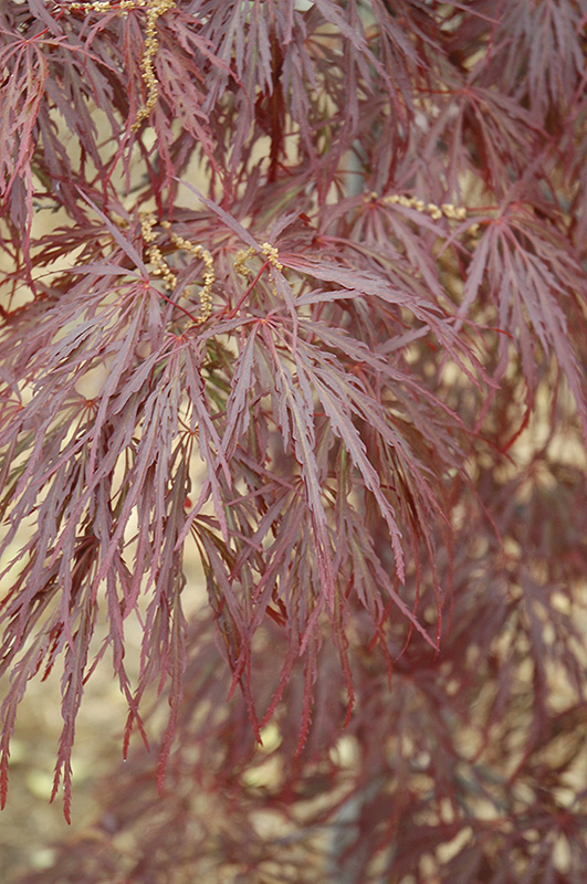 Garnet Cutleaf Japanese Maple (Acer palmatum 'Garnet') at Weston Nurseries