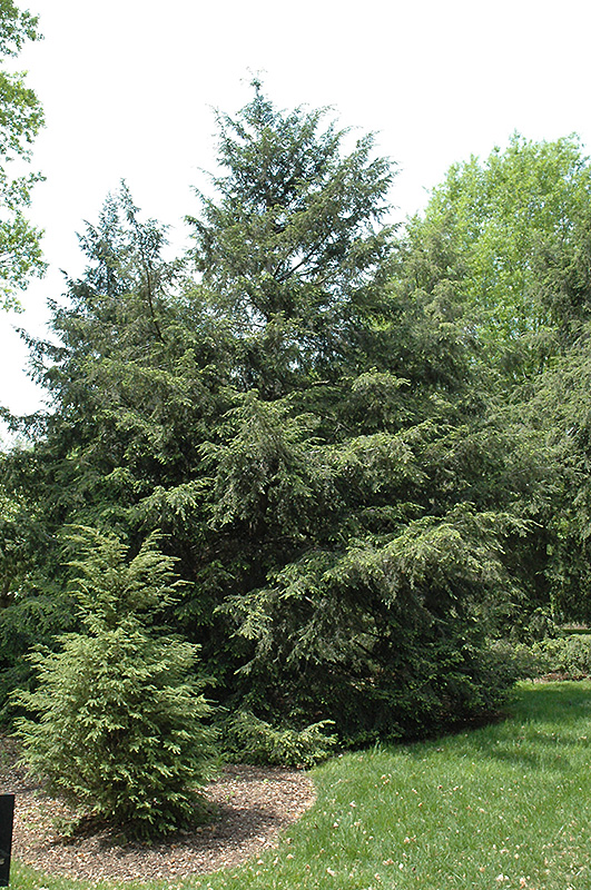 Canadian Hemlock (Tsuga canadensis) at Weston Nurseries