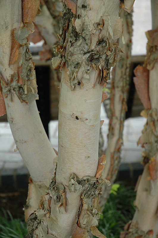 Fox Valley River Birch (Betula nigra 'Little King') at Weston Nurseries