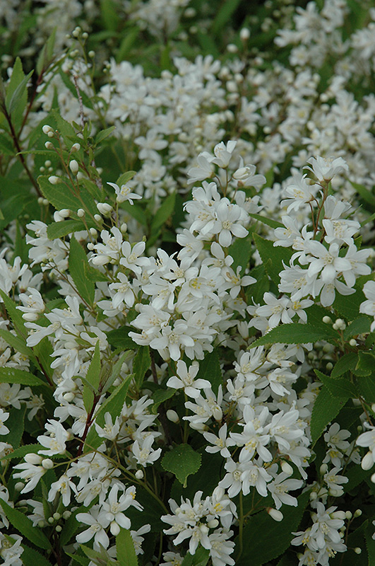 Nikko Deutzia (Deutzia gracilis 'Nikko') at Weston Nurseries