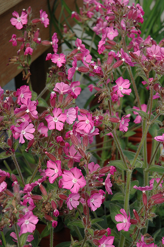Rolly's Favorite Campion (Silene 'Rolly's Favorite') at Weston Nurseries