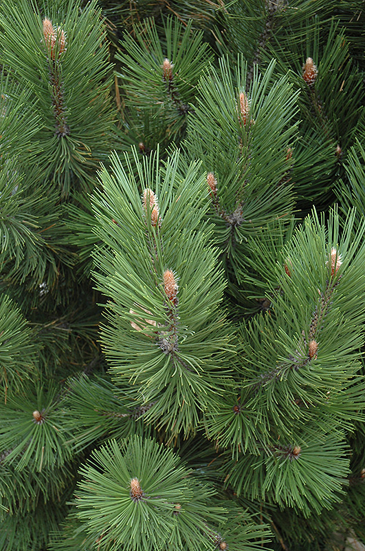 Emerald Arrow Bosnian Pine (Pinus heldreichii 'Emerald Arrow') at Weston Nurseries