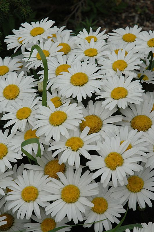 Snow Lady Shasta Daisy (Leucanthemum x superbum 'Snow Lady') at Weston Nurseries