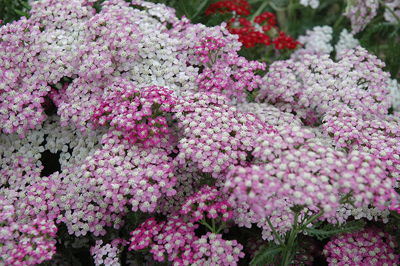 Oertel's Rose Yarrow (Achillea 'Oertel's Rose') at Weston Nurseries