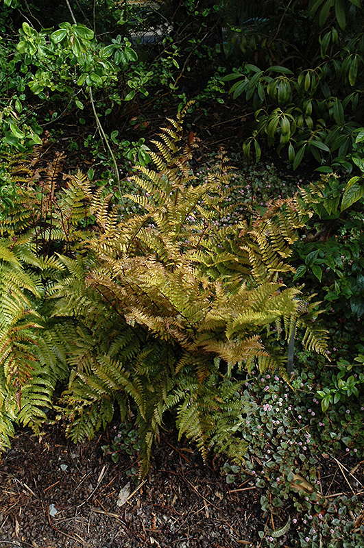 Autumn Fern (Dryopteris erythrosora) at Weston Nurseries