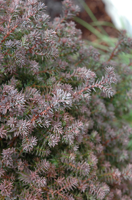Red Star Whitecedar (Chamaecyparis thyoides 'Red Star') at Weston Nurseries