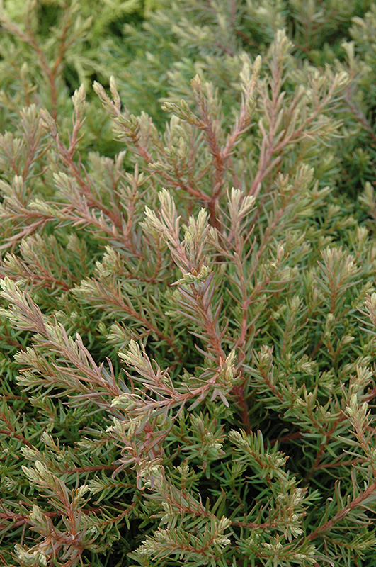 Heatherbun Whitecedar (Chamaecyparis thyoides 'Heatherbun') at Weston Nurseries