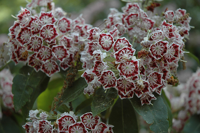 Bullseye Mountain Laurel (Kalmia latifolia 'Bullseye') at Weston Nurseries