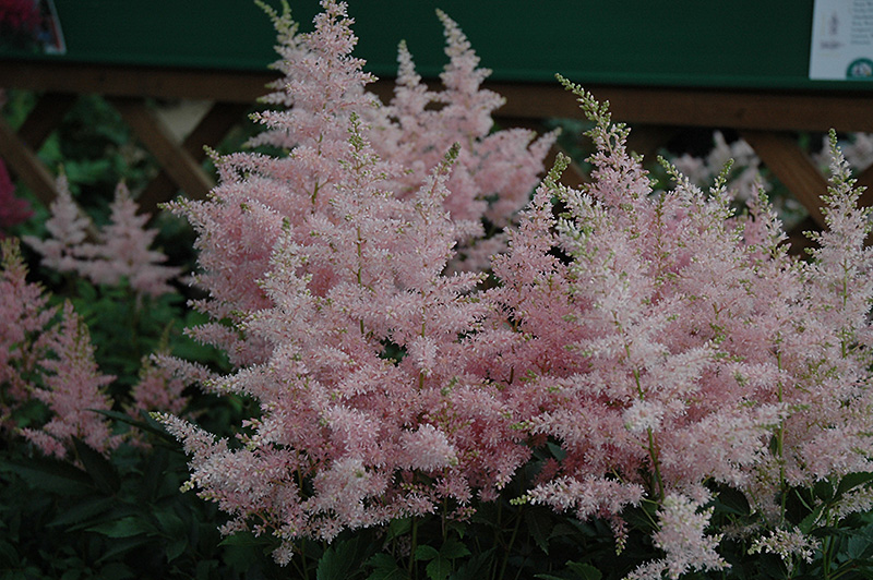 Younique Silvery Pink Astilbe (Astilbe 'Verssilverypink') at Weston Nurseries