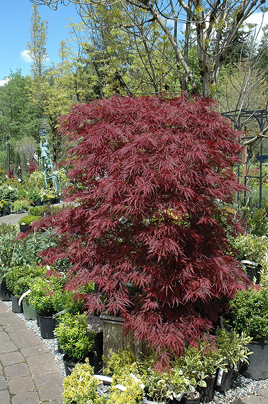 Red Dragon Japanese Maple Acer Palmatum Red Dragon In Boston